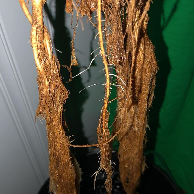 Root Rot in DWC system